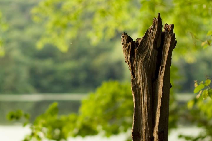 Radnor Lake Stump